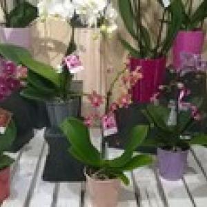 ORCHIDEE PETITE